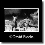 Horses in Infrared